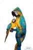 Parrot-ybg-1